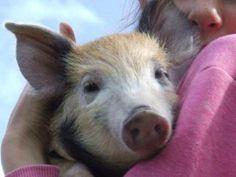 pigs are wonderful!