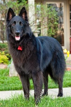 Belgian Sheepdog Origin: Belgium Colors: Black Size: Large Type of Owner: Experienced Exercise: Regular Grooming: Daily Trainability: Very easy to train Combativeness: Can be slightly dog-aggressive Dominance: Moderate Noise: Average barker Akc Dog Breeds, Smartest Dog Breeds, Large Dog Breeds, Little Dogs, Big Dogs, I Love Dogs, Belgian Shepherd, Shepherd Dog, Cattle Dogs