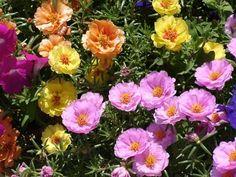 Portulaca Grandiflora, Ice Plant, Gardening, Colorful Flowers, White Flowers, Giving Flowers, Organic Fertilizer, Secret Gardens, Diy Landscaping Ideas