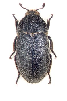 This black bettle with light colored setae (hairs or bristles) and clubbed antenae also arrives courtesy of Beetles (Coleoptera) http://www.zin.ru/Animalia/Coleoptera/eng/index.html