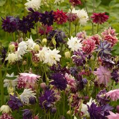 Columbine Seeds - Barlow MixA unique Columbine variety, Barlow Columbine grow easily from seed and feature beautiful, fully double blooms. Lacking the familiar spurs of traditional Columbine, the lovely Barlow Mix will fill your Spring garden with a collection of dahlia-like blooms.