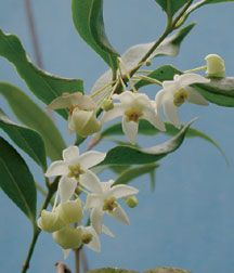Fragrant Wax Plant