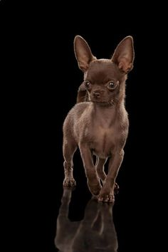 Named in honor of the state of Chihuahua in Mexico, the Chihuahua has the prestige of being the smallest breed of dog in the world. One of the most popular breeds around the world, the Chihuahua – … Cute Chihuahua, Chihuahua Puppies, Cute Puppies, Dogs And Puppies, Cute Dogs, Doggies, Teacup Chihuahua, Brown Chihuahua, Animals And Pets