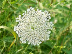 QUEEN Ann's lace - Farmington Maine  *Mom and I both loved Queen Anne's Lace, so delicate looking!