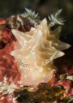 Lembeh Nudi Falls - Nudibranch by Rowland Cain, via Flickr