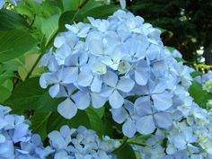 Hydrangea by © Baslee Troutman, via fineartamerica.com