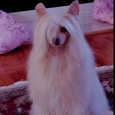 Karev, our beautiful Chinese Crested puff boy