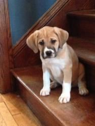 Desmond is an adoptable Boxer Dog in minneapolis, MN. You can fill out an adoption application online on our official website. Hello!  My name is Desmond and I am an 8 week-old boxer mix puppy.  I am ...