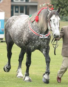 Percheron - Dappled - I would love our some-day pulling pair to be beautiful Percherons like this!