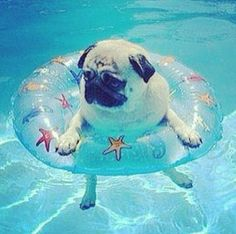 Just floatin' #pug