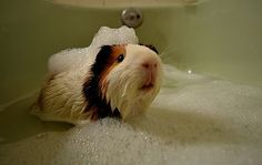 "oh, I had a little guinea piggy just like this one as a little girl..aptly named, ""Piggy""  :-)"