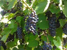 """Köstliche Weintrauben werden bald geerntet. Diese """"Isabella Sorte"""" eignet sich auch hervorragend zum Weiterverarbeiten in der Küche. Fruit, Food, Essen, Meals, Yemek, Eten"""
