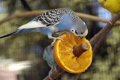 Can parakeets eat this? Find out what parakeets can and can not eat. Ranging from apples, oranges, bananas, carrots, grapes, and other fruits and vegetables
