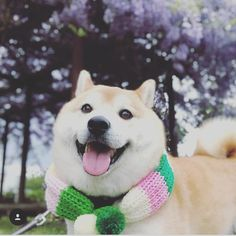 by @mamesukezaemon Turn on notifications for more shibes #dog #dogstagram #shibainu #shibe #dogememe #doge #home #shibes #daily #daily_shibes #shibeoftheday #doglover #love #shibainulove #Shiba #shib #shibelover #dailydosis #shibedoge #night #cute