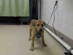 ~~dies Wed., 03/22/17~~NOT SAFE!! To ensure safety this animal needs an adoption hold by 5:30pm OR a rescue group to claim by 5:50pm WEDNESDAY 3/22/17. -**SEE VIDEO!!** HOUSTON-EXTREMELY URGENT - This DOG - ID#A479753 I am a male, brown and white Labrador Retriever mix. I am about 12 weeks old. I have been at the shelter since Mar 18, 2017. Harris County Public Health and Environmental Services. https://www.facebook.com/harriscountyanimalshelterpets/videos/1463632010367259/