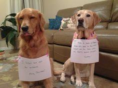 Murphy & Sully - golden retriever , yellow lab.  Christmas dog shaming.