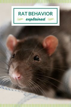 What are some common rat behaviors? Find out here!