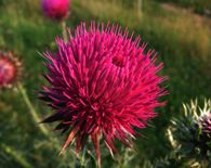 Milk Thistle Detox for Heavy Metals, Chemotherapy, and Radiation. » DrAxe.com  Arbonne Detox Tea has this ingredient.