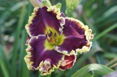 Daylily (Hemerocallis 'Bella Note') in the Daylilies Database (All Things Plants)