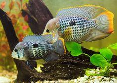 green terror cichlid male and female