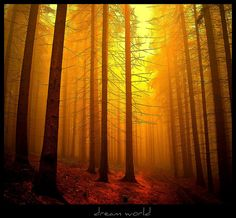 Morning in the pine forests