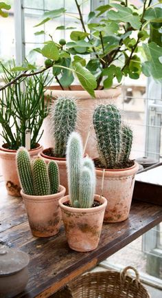 The most favorite decorative plant inside the house is a cactus. By using the same cactus pot then you group it, it can beautify the look Cacti And Succulents, Planting Succulents, Planting Flowers, Indoor Garden, Indoor Plants, Indoor Cactus, Cactus Plante, Decoration Plante, Plants Are Friends
