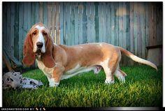 Too cute!  Love basset hounds