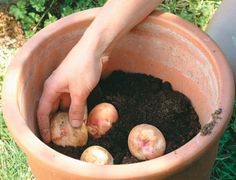 Grow potatoes in containers, better then planting in ground