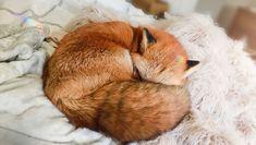Хитрый домашний питомец: несколько фактов о том, какого содержать дома лису