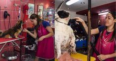 Joven veterinaria cubana abre negocio de peluquería para mascotas #DeCubayloscubanos #cuba #LaHabana #negocio #peluqueríaparamascotas