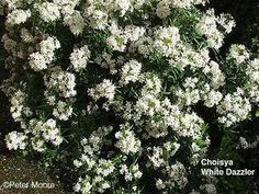 Evergreen shrub with white scented flowers in early spring and possibly again in autumn. Easy to care for too! Planting Shrubs, Garden Shrubs, Landscaping Plants, Evergreen Garden, Evergreen Shrubs, Missouri Botanical Garden, Botanical Gardens, Plant Catalogs, Garden Inspiration