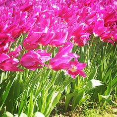 Istanbul Covered in Tulips: How Instagram Saw It #Istanbul #tulips #travel #flowers #tulipfestival