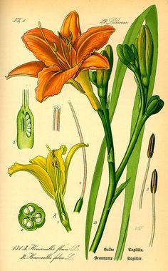 Hemerocallis fulva, Illustration of 1885