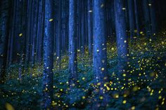 Shikoku, Japan Swarms of fireflies illuminate the undergrowth at night in a forest on the smallest of Japan's four main islands. By Kei Nomiyama Amazing Photography, Nature Photography, Night Forest, Natural Phenomena, Long Exposure, California Travel, The Guardian, Life Is Beautiful, Beautiful Places