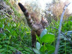 Άρωμα Ικαρίας: Η μοναδική ελληνική ράτσα ..οι γάτες του Αιγαίου !...Never a dull day with an Aegean!!!! Cats, Animals, Gatos, Animales, Animaux, Animal, Cat, Animais, Kitty