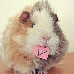 guinea pig..O.o Macy...him is soooooo cute!! Love him...but yea, NO..we are not gettin a guinea Pig...I know you love em SO much...but still NO! :D -kjm 9/2011