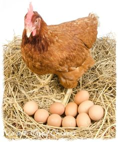 Hens store their fertile eggs in a clean nest.