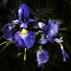 Meadow Iris by Althytrion on DeviantArt
