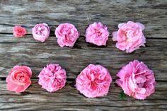 Pink: En haut : Pink Grootendorst (3.5cm) - La Reine Victoria (5.5) - Louise Odier (7) - Comte de Chambord (7.5) - Constance Spry (10)  En bas : Léonard de Vinci (6.5) - Yolande d'Aragon (7.5) - Gertrude Jekyll (10) - Paul Neyron (12)