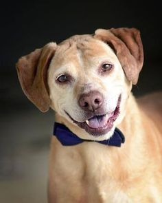 ADOPTED>NAME: Sadie  ANIMAL ID: 34778842  BREED: Beagle/retriever mix  SEX: female (spayed) EST. AGE: 8 ½ years  Est Weight: 39 lbs  Health: Heartworm pos  Temperament: dog friendly people friendly  ADDITIONAL INFO: RESCUE PULL FEE: $35  Intake date: 3/3  Available: Now