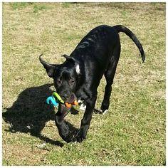 Arlo ❤️ #doggydaycare #dogboarding #petboarding #playtime