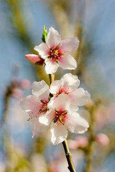 Cherry Blossom by Catherine Hamilton-Veal ©   Redbubble