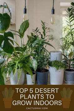 Bringing some cacti or desert plants into your house is a great way to freshen up your space. Not only that, but having indoor plants has many benefits! #cactuscare #cactuscaretips #cactustips #cactuscareforbeginners #cactus #desertplants Growing Plants Indoors, Growing Herbs, Growing Vegetables, Fast Growing, Indoor Cactus, Best Indoor Plants, Desert Flowers, Desert Plants, Container Gardening