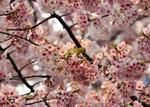 A bird sits on a branch of a blooming cherry tree in Tokyo, on March 25, 2014