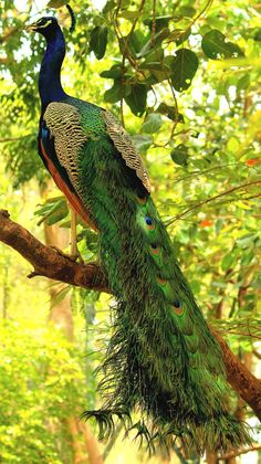 Beauty on duty!! | Peacock flaunting its full length colorful feathers | by sachin munipalle on 500px