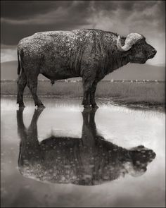 Lago Natron, Tanzânia by Nick Brandt Nick Brandt, Tanzania, Wildlife Photography, Animal Photography, African Buffalo, Animals Black And White, Red Lake, Mario Testino, Eric Lafforgue