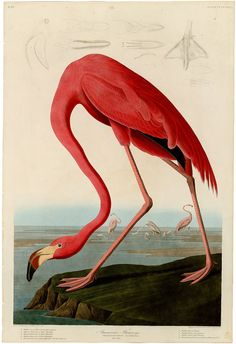 American Flamingo, Plate #431 from Birds of America (Havell Edition) by John James Audubon (1827-1838) AVAILABLE FORMATS: * Sheet Size: 17 x 22 (Image: 13.7 x 20) * Sheet Size: 13 x 19 (Image: 11 x 16) * Sheet Size: 9.5 x 13 (Image: 7.5 x 11) Archival Inkjet on Fine Art Paper Matte Finish - White Borders - Textured Surface SYNOPSIS A masterwork of natural history illustration from the original Double Elephant Folio, or Havell Edition of Audubons Birds of America. A monumental project…