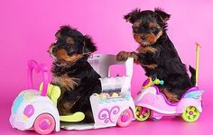Yorkie Puppies - 39 Pictures