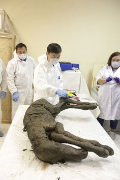 Perfectly-preserved ancient foal is shown to the world for the first time