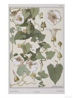 Botanical Diagram of Bind Weed Giclee Print by Eugene Grasset at Art.com